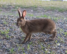 Wild rabbits that inhabit the green space at the Kashima Plant
